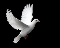 White dove flapping its wings